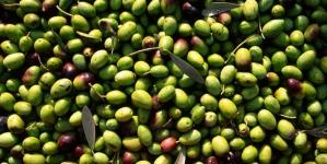 Furti di olive nel cerignolano: sei arresti