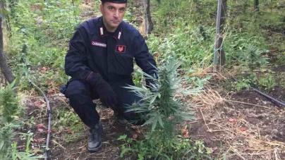 Scoperta piantagione di marijuana: arrestato pregiudicato locale