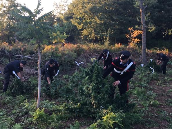 Sequestrata una piantagione di marijuana: 120 piante e sistema di irrigazione