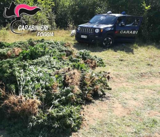 Scoperta maxi piantagione di marijuana nelle campagne chieutine