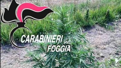 Blitz dei Carabinieri nelle campagne: rinvenute 7000 piante di cannabis