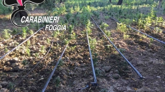 Oltre 8mila piante di marijuana rinvenute nelle campagne di Cerignola