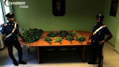 Scoperta piantagione di marijuana tra i vigneti: arrestato 55enne