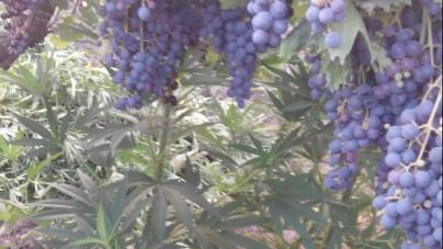 Orta Nova: sequestrata piantagione di marijuana in uso a 57enne