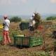 Si accascia per un malore mentre lavora in campagna: muore bracciante agricolo