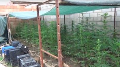 Sgominato gruppo criminale dedito alla coltivazione e spaccio di marijuana: 4 arresti