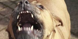 Due pitbull seminano terrore a Manfredonia; catturati dopo morso ad un ragazzino