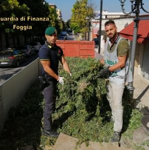 Sequestrate 13 mila piante di marijuana: arrestate tre persone