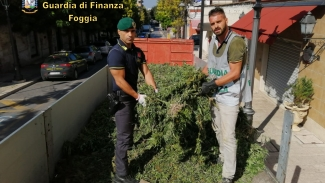 Sequestrate 13 mila piante di marijuana: arrestate tre persone