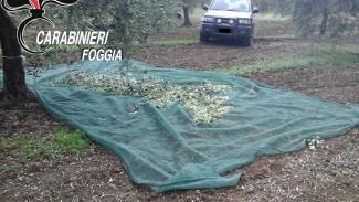 Cittadino sventa ingente furto di olive in contrada Spaviento a San Severo